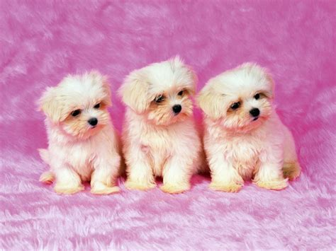 wallpaper pink dog cute puppies pictures wallpaper of dog breeds