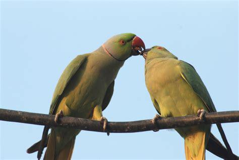 courtship behavior in parrot