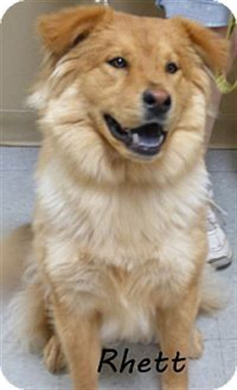 golden retriever mix puppies ohio dogs for adoption adoption and golden retriever mix on
