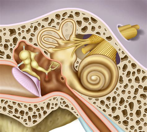 orecchio medio e interno orecchio interno medio e illustrazione di stock