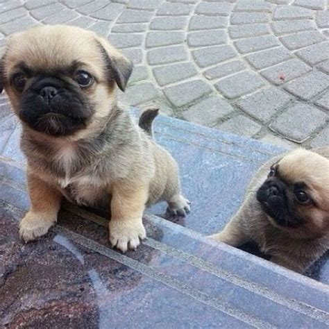 cutest pug puppies pug puppies puppy just happy and puppys