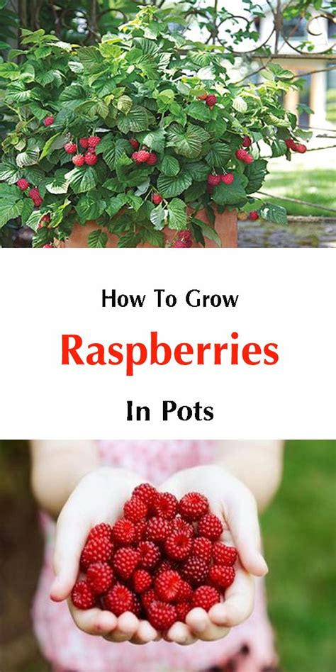 94 fruit that doesn t grow on trees 25 best ideas about fruit bushes on planting