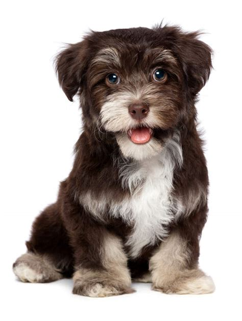 facts about havanese puppies havanese dogs breed information omlet