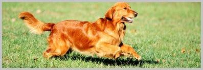 golden retriever temperament and behavior golden retriever personality from golden retriever experts