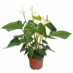 anthurium 224 fleurs blanches c17 vente anthurium 224