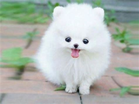 how big do pomeranian puppies get teacup pomeranian puppy quot maxie quot dogs animals background wallpapers on desktop