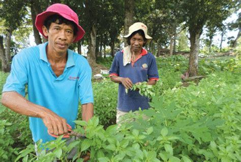 Jual Bibit Daun Kemangi cara menanam kemangi di lahan tanah bibitbunga