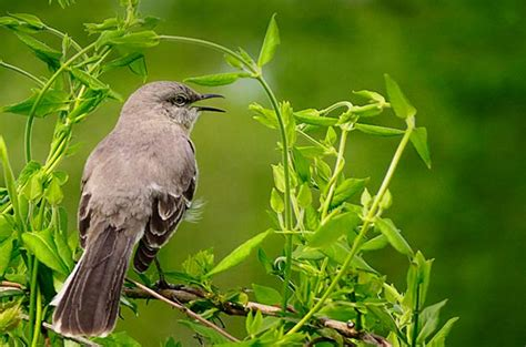kinds of birds in your backyard attract northern mockingbirds to your backyard birds and