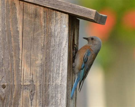 what direction should bluebird house face what direction should bluebird house 28 images nature s way cedar series standard