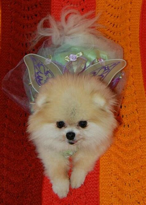 best brush for pomeranian 20 best images about for my angus on rainbow bridge pets and pet