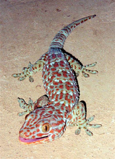 file tokay gecko jpg simple english wikipedia the free encyclopedia
