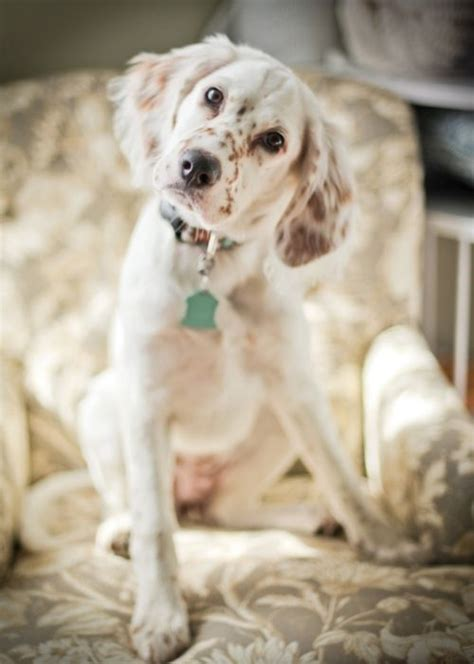 lemon setter dog english setter animals pinterest