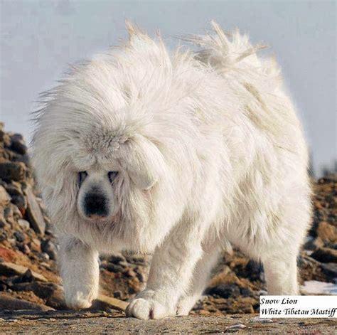 dogs that look like lions drakyi tibetan mastiff