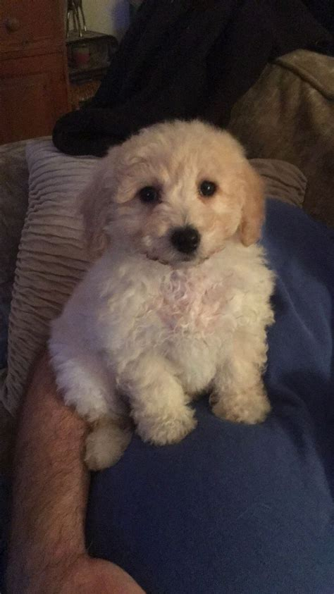 cavapoo puppies for sale in wisconsin cavapoo puppy for sale middlewich cheshire pets4homes