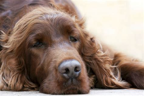 lymphoma in dogs treatment dogs with lymphoma anuvrat info