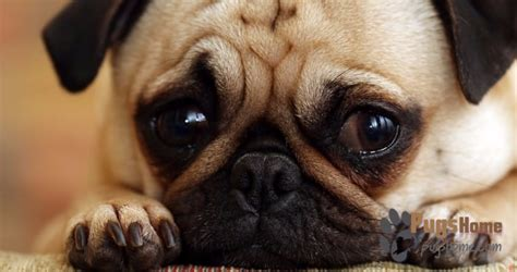 utah pug rescue mn midwest pug rescue