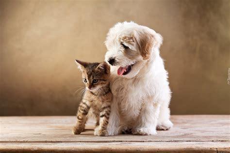 lab puppies ma pin tapeta szczeniak labrador retriever ma y kotek przyjaciele on quotes