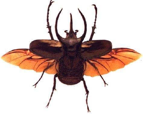 scarabeo volante scarabeo preferito sciax2 it forum