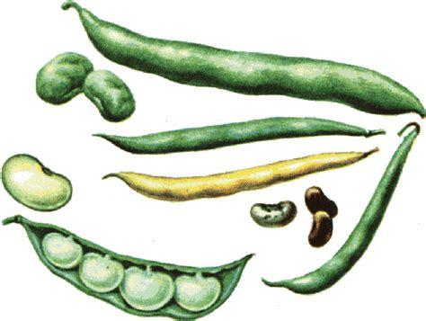 String Bean Clip - green beans clip cliparts