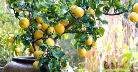 coltivare limone in vaso come coltivare i limoni in vaso soluzioni di casa