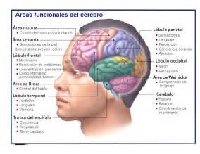 el cerebro y sus funciones youbioit