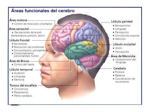 el trauma y el el cerebro y sus funciones youbioit com