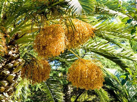 palm tree orange fruit palm tree fruits
