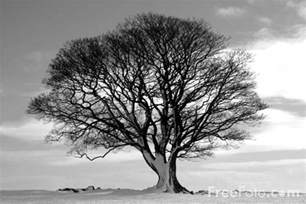 black and white tree images tree black and white pictures free use image 15 01 33