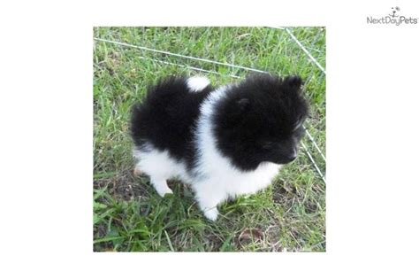 black and white pomeranian for sale best 25 white pomeranian ideas on white pomeranian puppies pomeranian