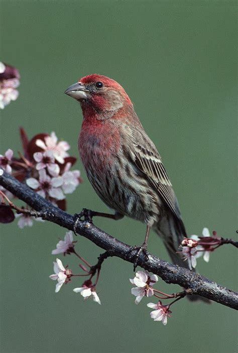 house finch singing house finch singing 28 images untitled document