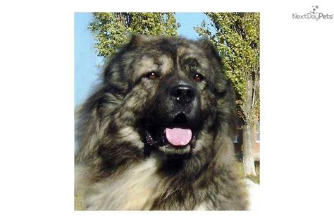 caucasian mountain price caucasian mountain puppy for sale near ukraine ec25d5f4 2bc1