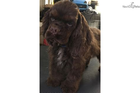 cocker spaniel puppies for sale in ky brownie cocker spaniel puppy for sale near louisville kentucky 3ace9a3e a5e1