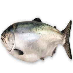 catamaran meaning in bengali salmon fish manufacturers suppliers exporters