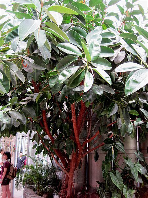 rubber tree ficus elastica  denver centennial
