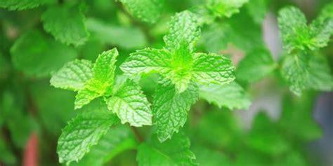 manfaat mengunyah daun mint  kesehatan merdekacom