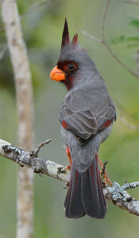 desert cardinal or pyrrhuloxia god s feathered friends