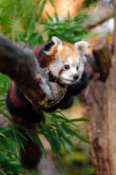 red panda  daytime  stock photo
