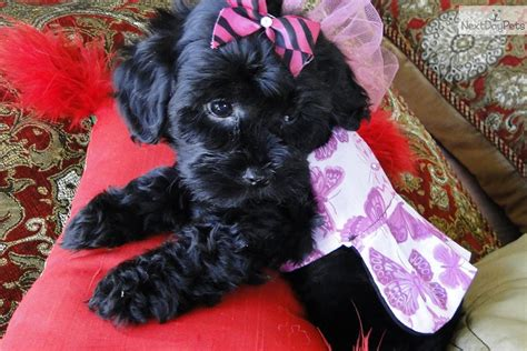 black maltipoo puppies black and brown maltipoo puppies www imgkid the image kid has it