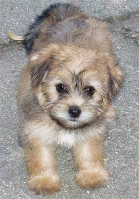 maltese yorkie mix puppies adoption shih tzu maltese yorkie mix