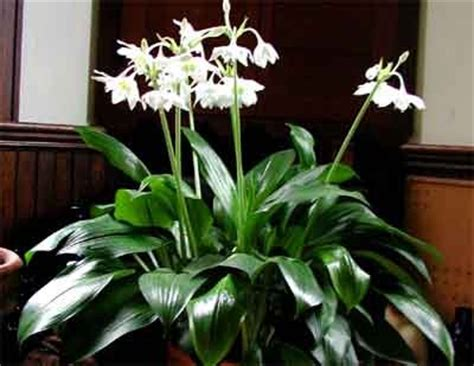 Growing Herbs Indoors eucharis grandiflora amazonica glasshouse works