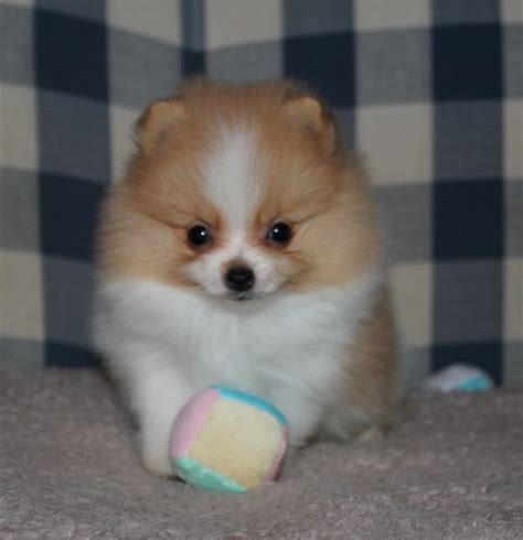 pomeranian doll baby doll pomeranian www pixshark images galleries with a bite