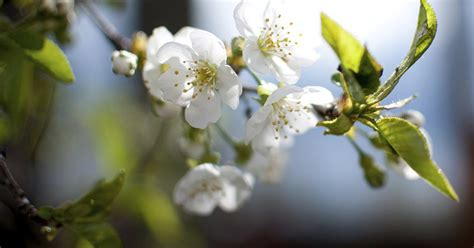 cherry tree pruning when to prune a flowering cherry tree ehow uk