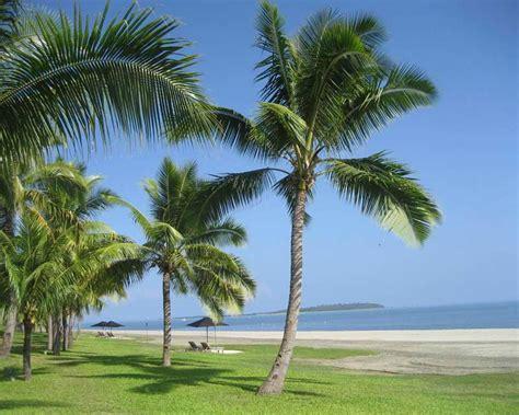 palme nane da giardino dove cresce la palma da cocco cocos nucifera il
