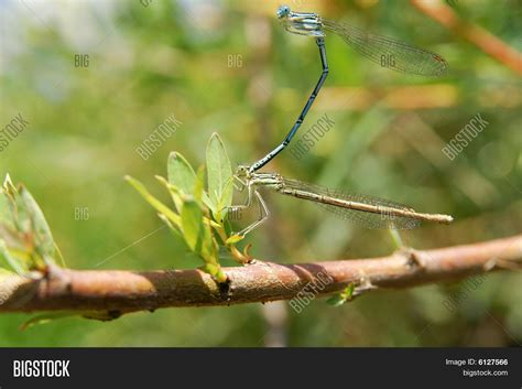 dragonflies during the mating season stock photo stock