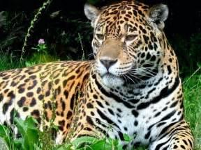 Jaguar Africa South Jaguar Cats Animals Background