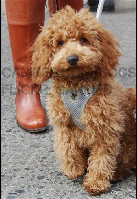 poodles long hair in winter 24 best images about poodles on pinterest poodles