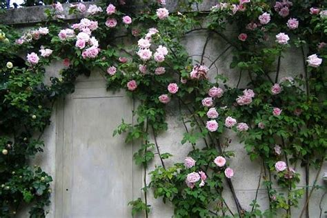 how to plant climbing roses the 7 best climbing roses for your garden gardenista