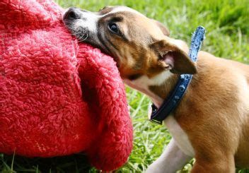 how to stop puppy play biting how to a puppy to stop play biting pet care