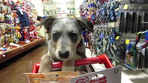 puppy shopping cattle puppy goes shopping