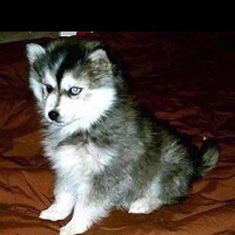 how much does a pomeranian husky mix cost related pictures pomeranian husky mix puppies price 25 best ideas about pomsky price